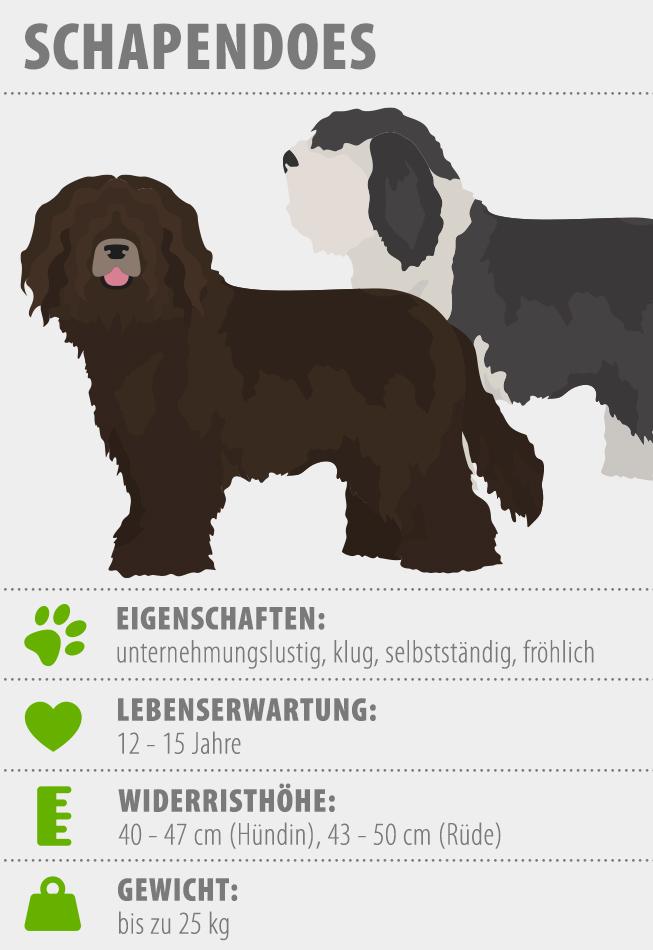 Merkmale Schapendoes Hund