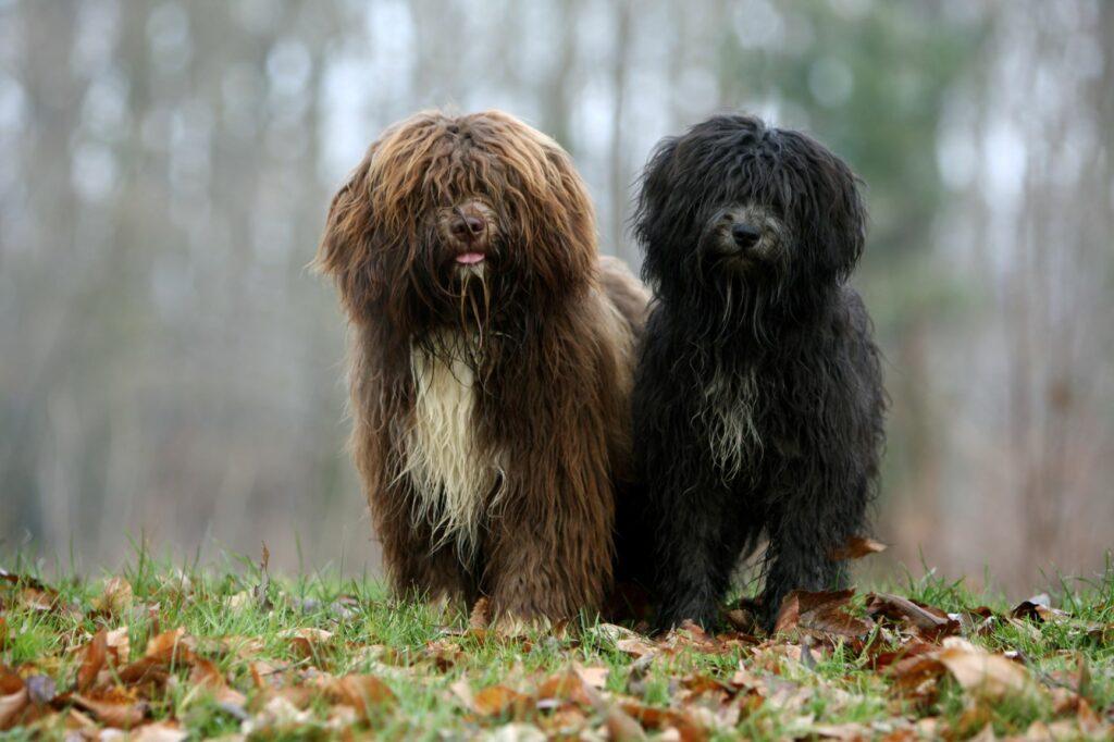 Ein brauner und ein schwarzer Schapendoes im Wald