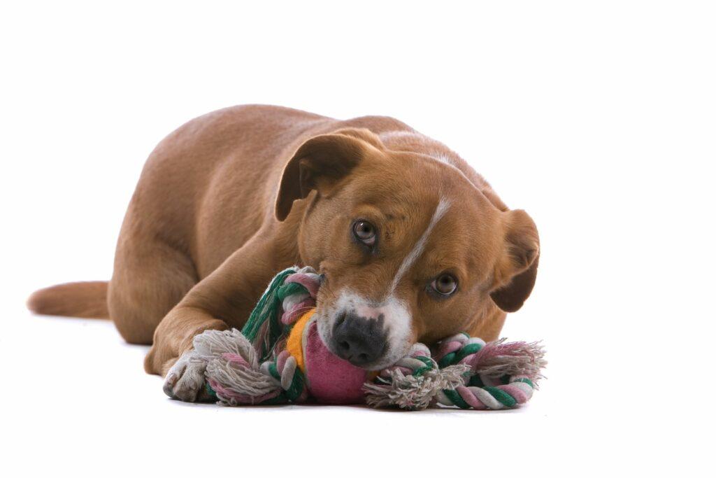 Hund mit Spielzeug im Maul