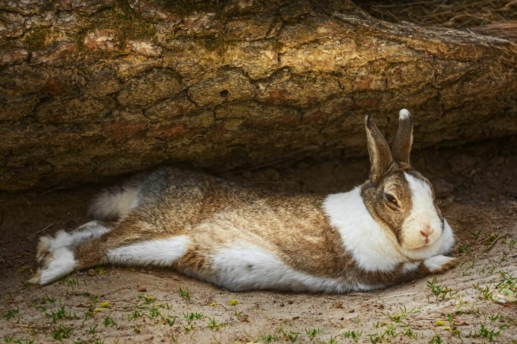 Rabbit with meteorism lies on its side.