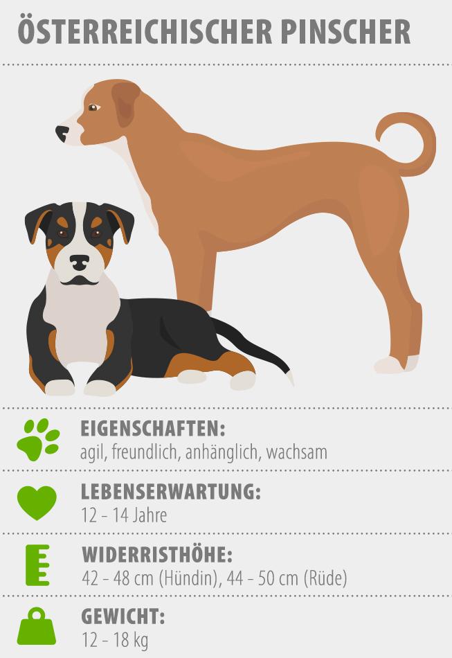 Infografik eines Österreichischen Pinschers