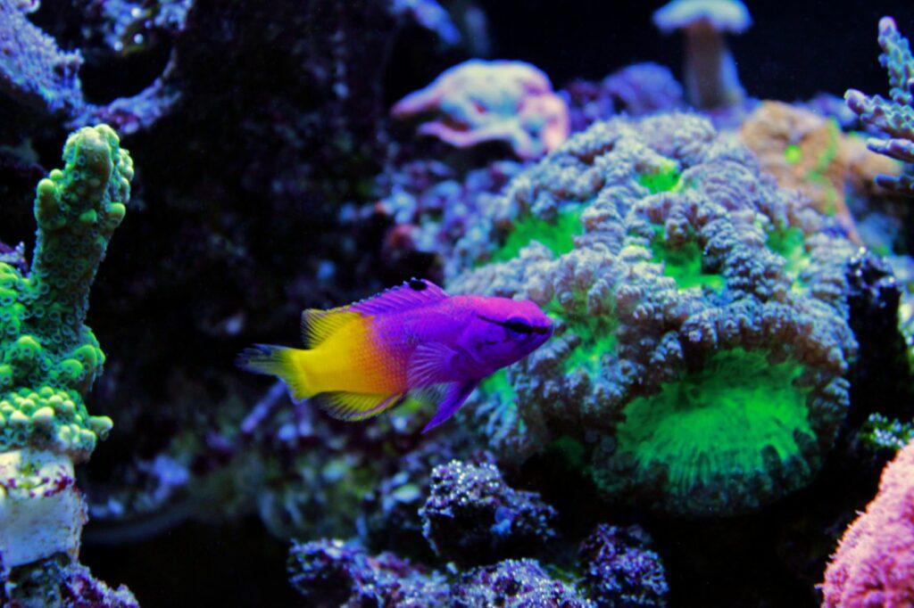 Königsfeenbarsch im Meerwasseraquarium