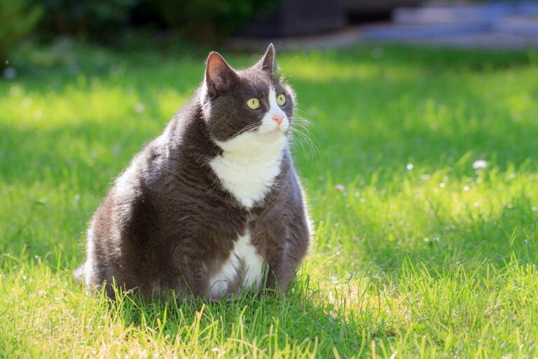übergewichtige Katze im Gras