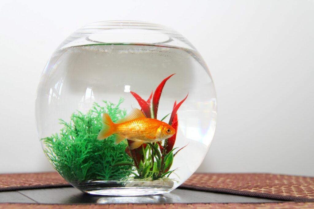 Flossenfäule kann durch zu kleine Aquarien entstehen.