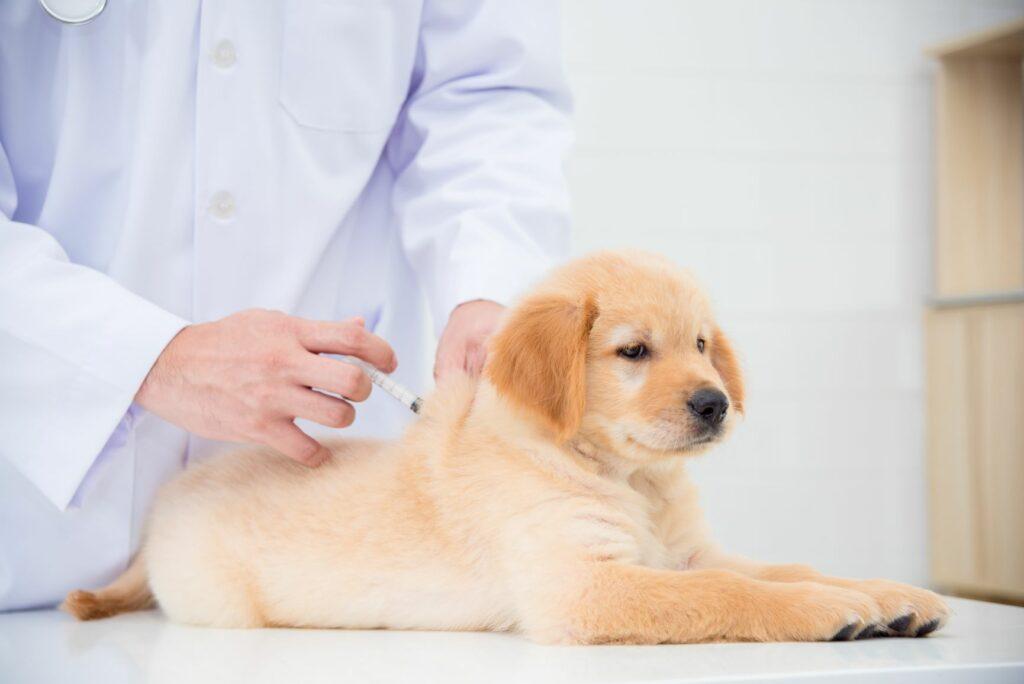 Welpe erhält Impfung vom Tierarzt