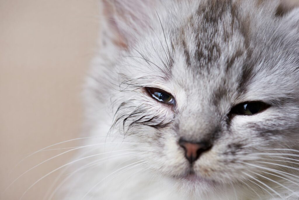 Augeninfektion bei der Katze
