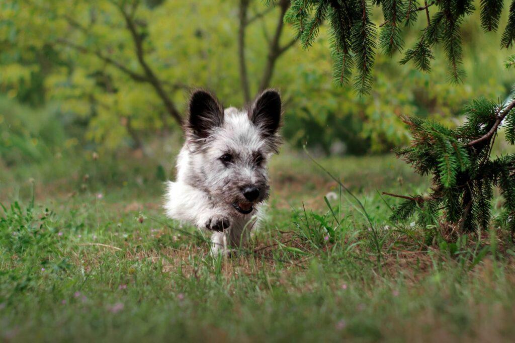 Skye Terrier Welpe im Wald