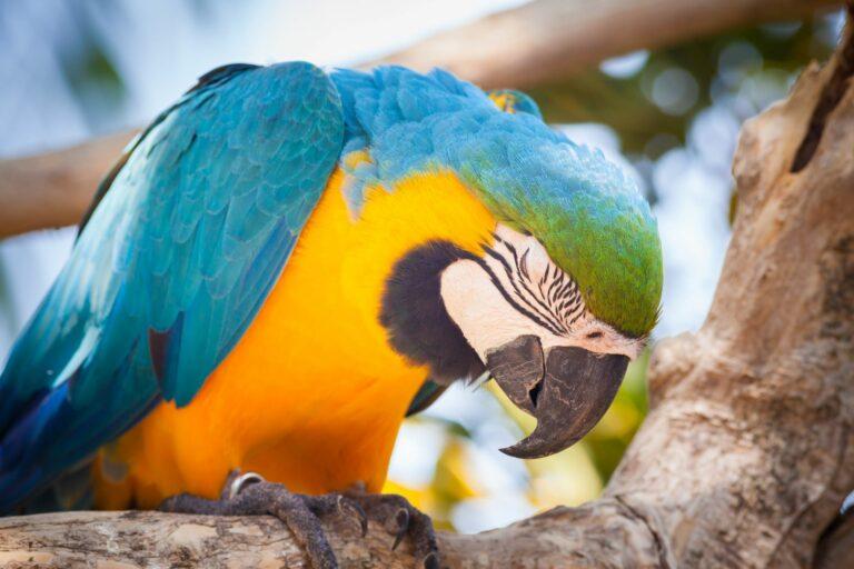 Ara-Papagei mit Pacheco-Krankheit