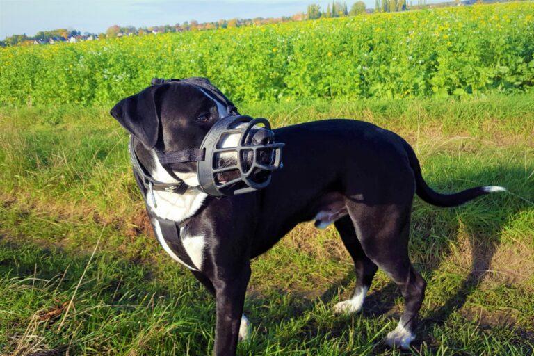 Hund mit Maulkorb beim Spaziergang