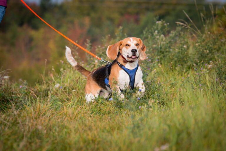 Hund Beagle beim Mantrailing