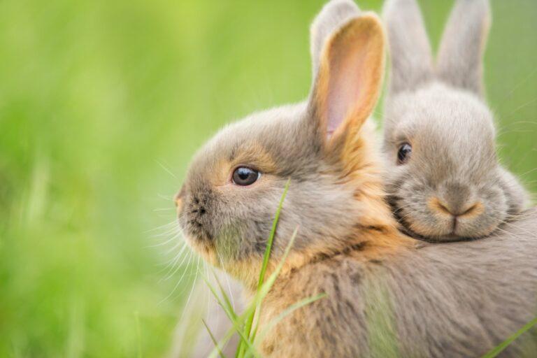 Unterschiede zwischen Hase und Kaninchen