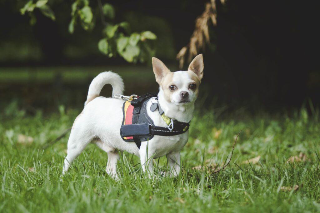 Hund Chihuahua Hundgeschirr