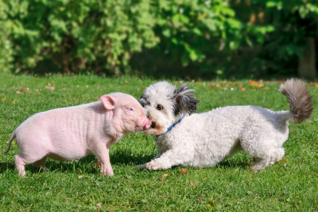 Teacup Schwein spielt mit Hund
