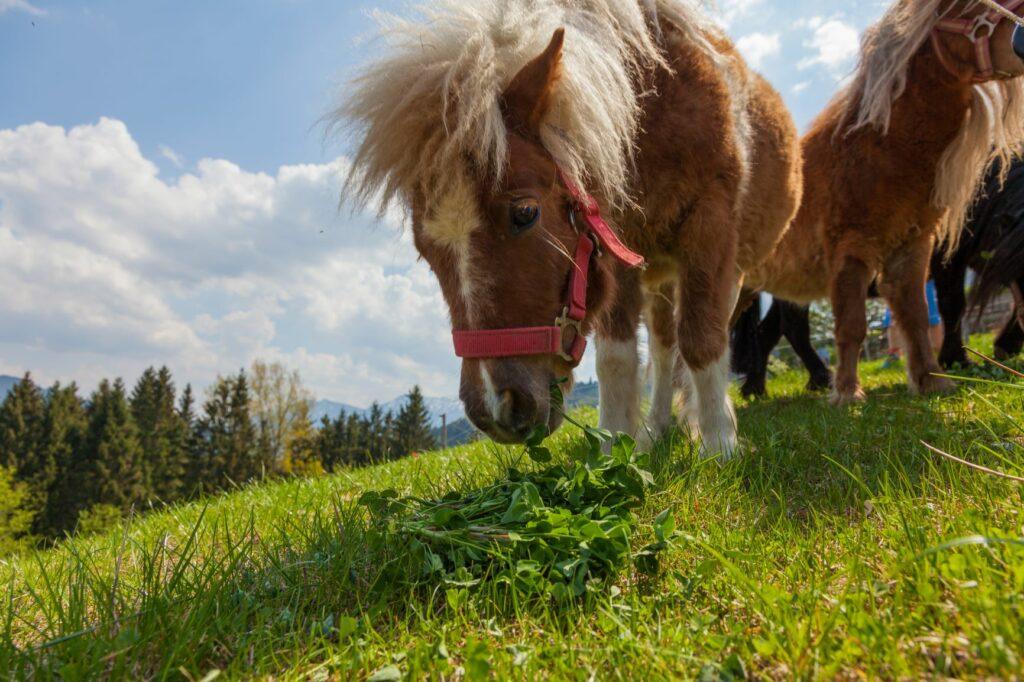 Shetland-Pony frisst