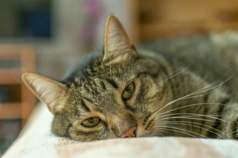 Depression bei Katzen