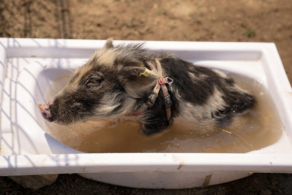 Minischwein badet in Wanne