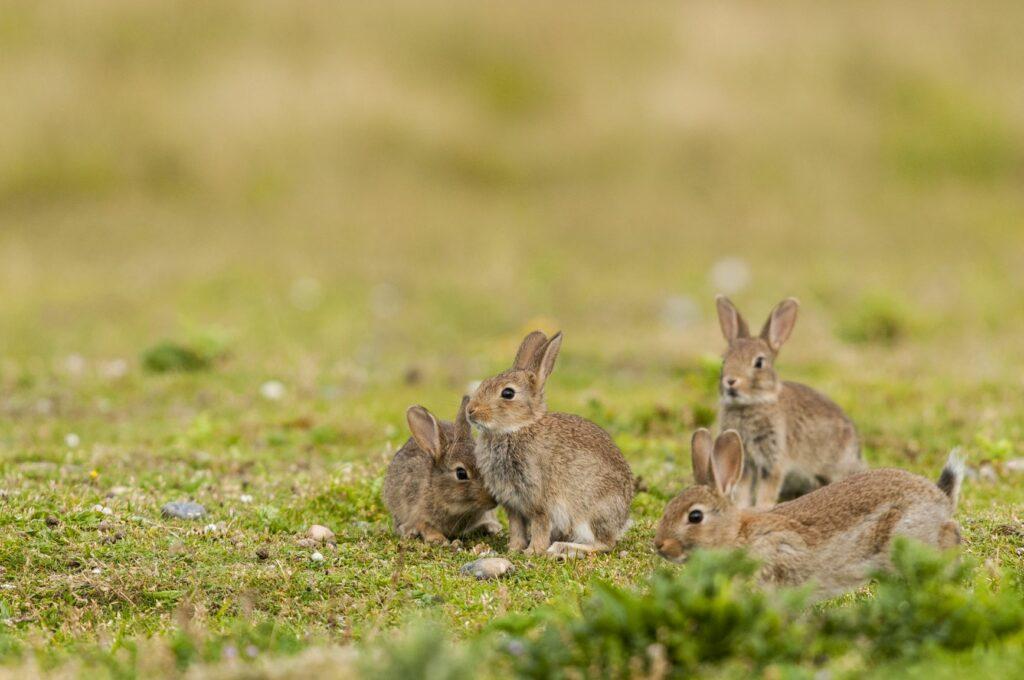 Rudel kleiner Kaninchen
