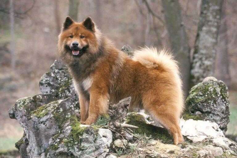 Eurasier Hund im Wald
