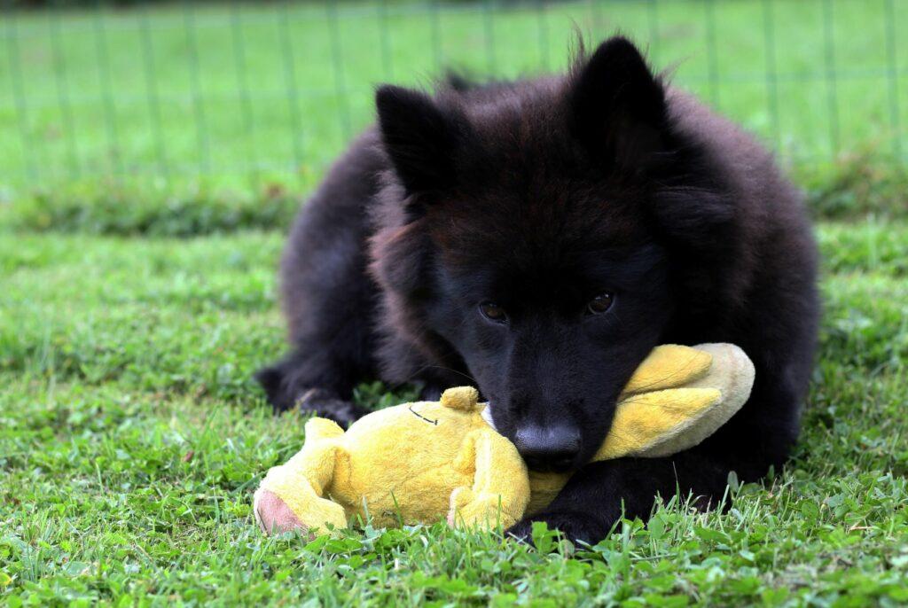 Eurasier-Welpe mit Spielzeug