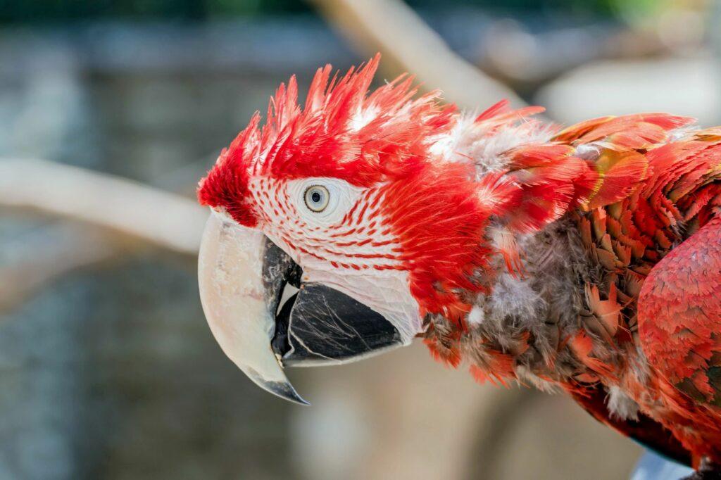 Roter Ara Papagei Mauser