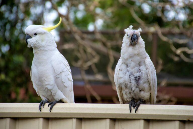 Kakadus auf Zaun mit PBFD Erkrankung