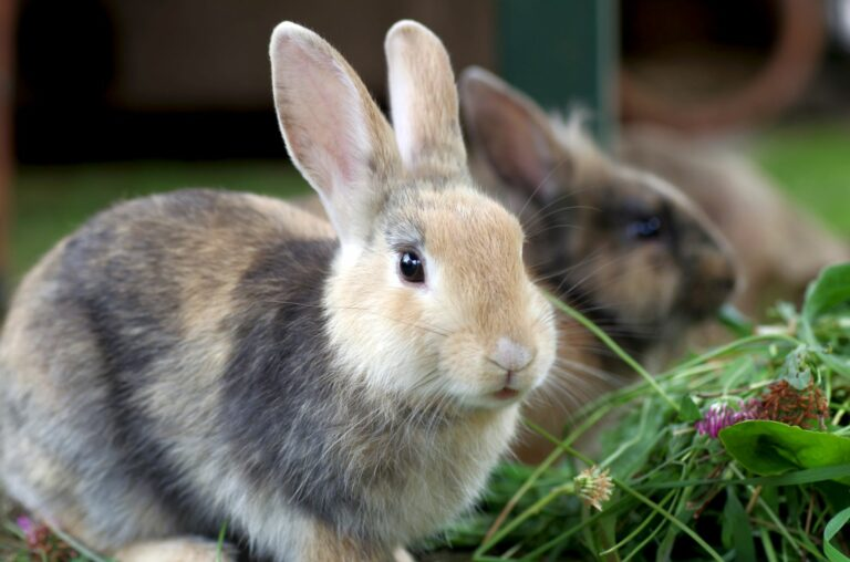 Kaninchen Kastration