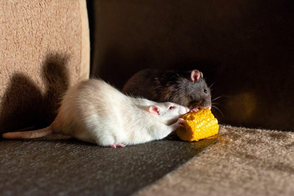 Ratten fressen Mais