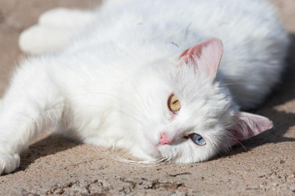 Weiße Katze Sonnenbrand