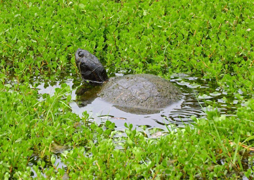 Moschusschildkröte in Teich