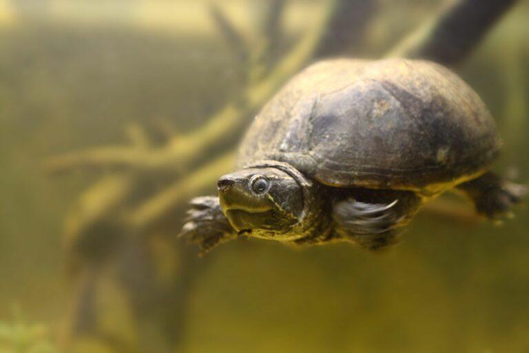 Moschusschildkröte im Aquarium