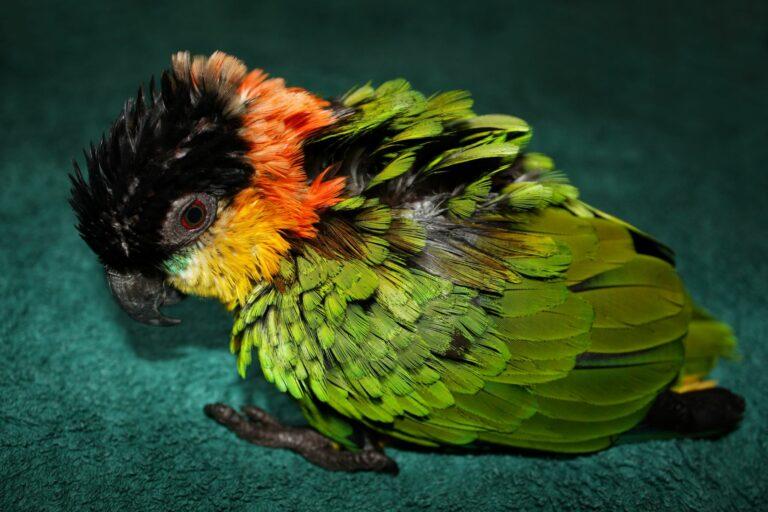 Papagei mit Papageienkrankheit