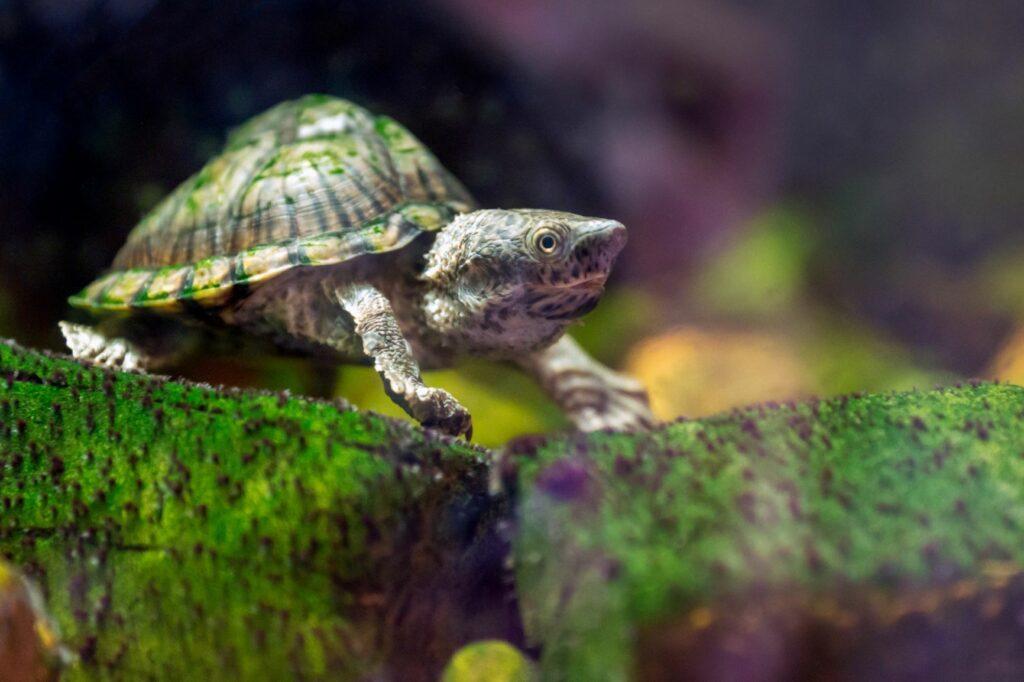 dach-moschusschildkröte sternotherus carinatus aquarium