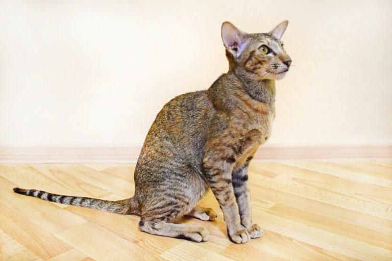 Orientalisch Kurzhaar Katze