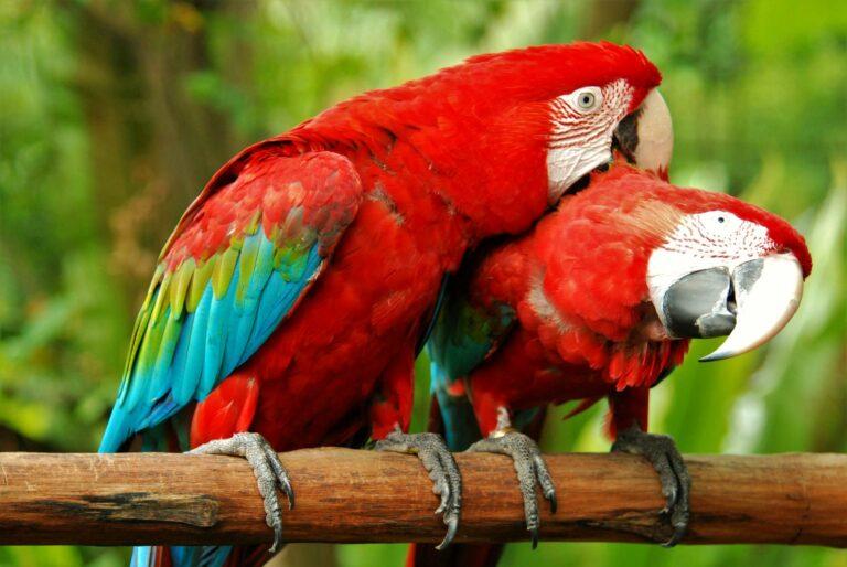 Rote Ara-Papageien
