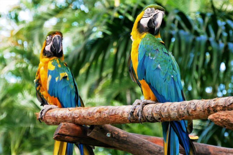 Papageienkrankheiten Ara Papagei