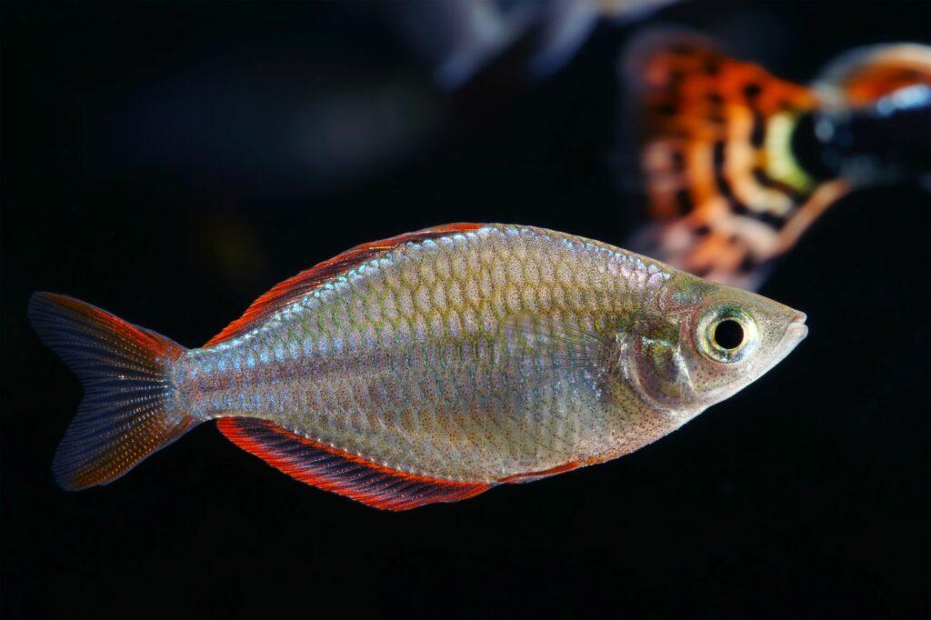 diamant regenbogenfisch im aquarium