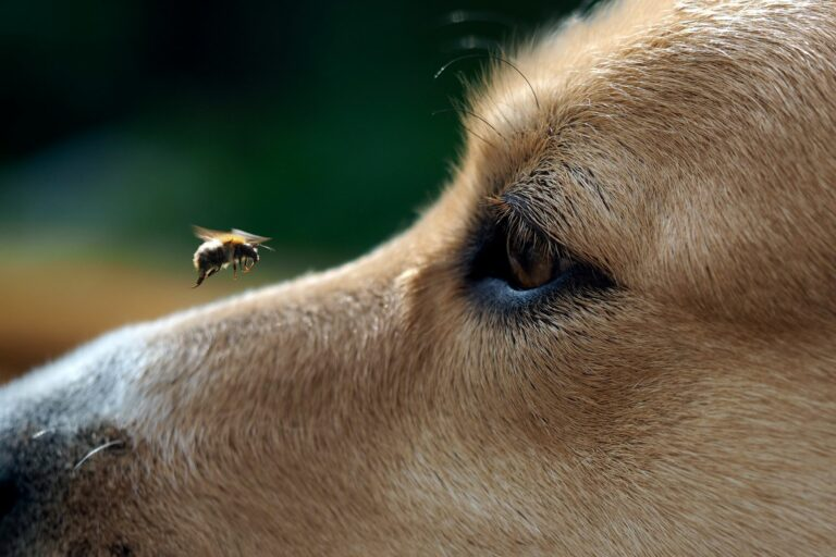 Bienenstich beim Hund Biene