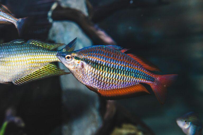 regenbogenfische im aquarium