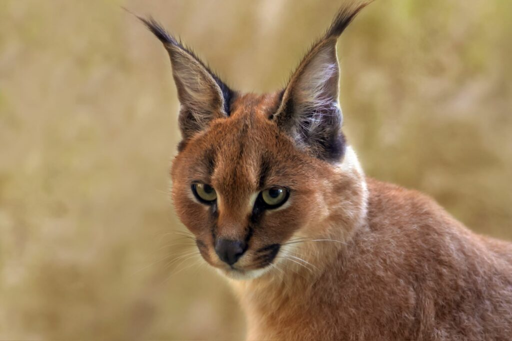 Karakal Kopf Ohren