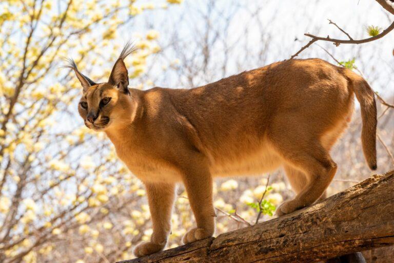 Karakal in der Wildniss