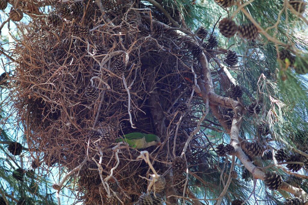 Mönchssittich Nest