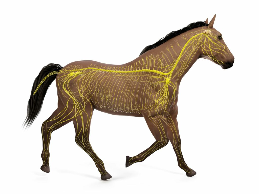 Nervensystem beim Pferd