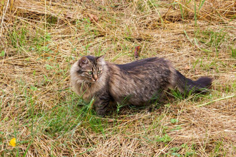 Deutsch Langhaar Katze in Wiese