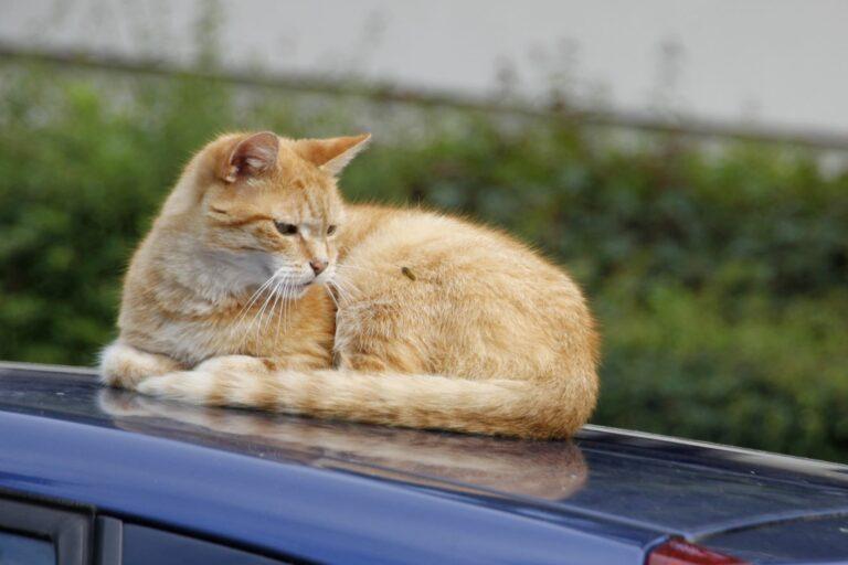 Wespe Katze auf Auto