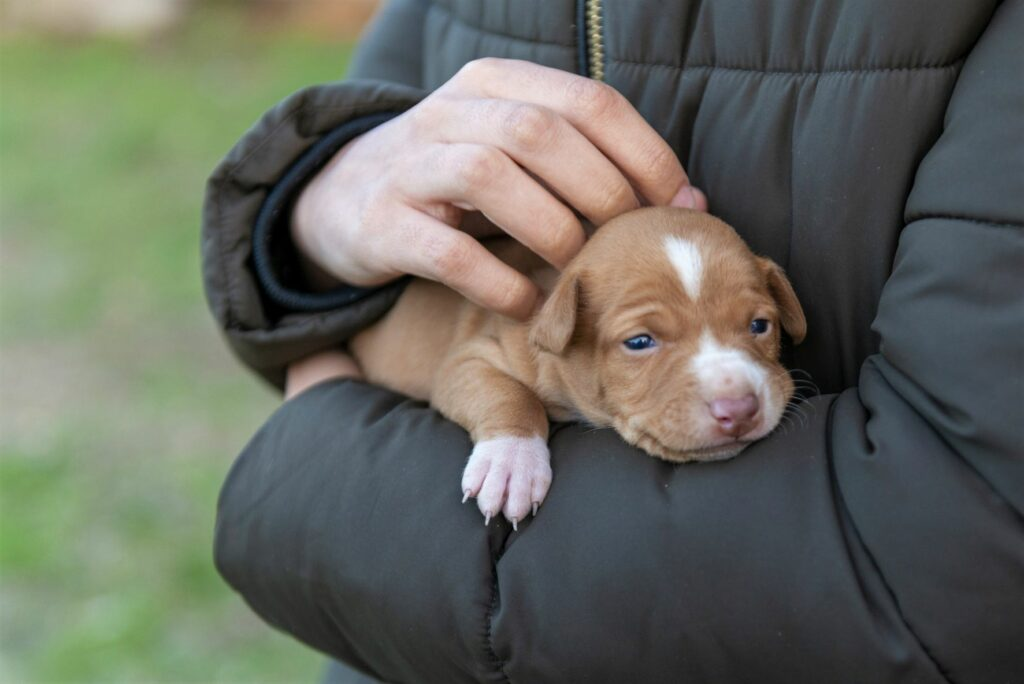 podenco andaluz welpe